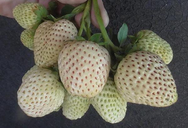 Садовая земляника с белыми ягодами