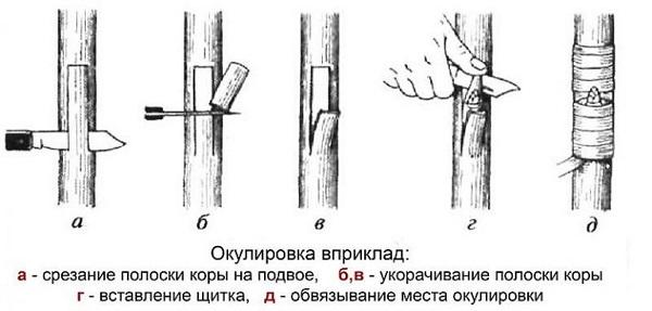 Окулировка в приклад