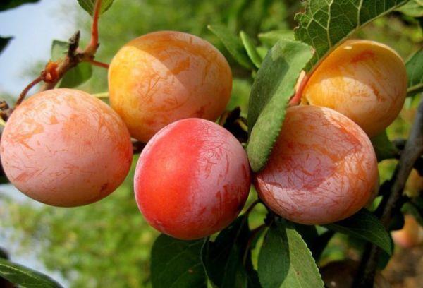 Среднеспелая алыча персиковая