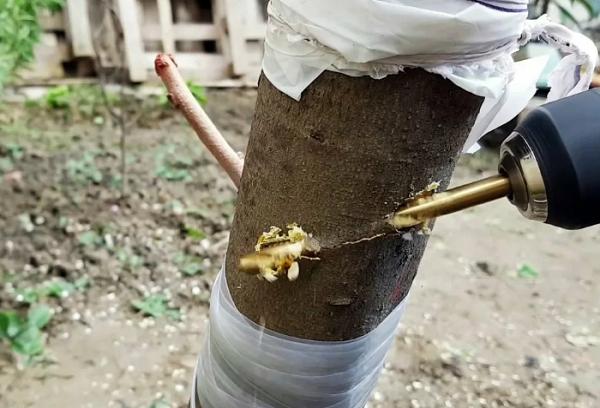 Прививка деревьев дрелью