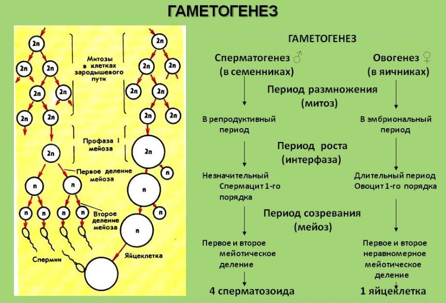 Формирование мужских гамет