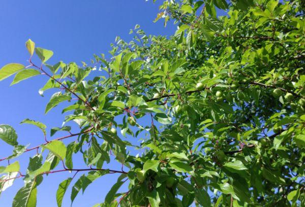Алыча – листопадное дерево