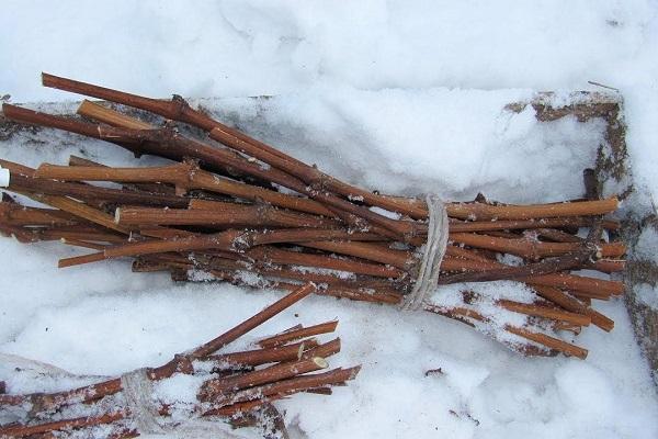 Хранение черенков в снегу