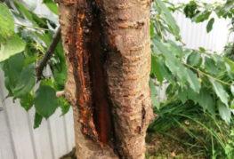 Гниющий ствол старого дерева