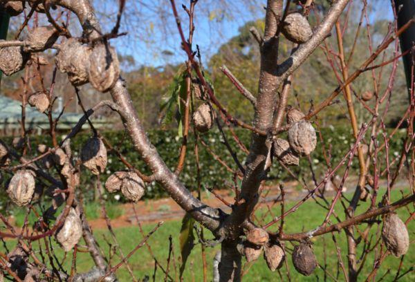 Гнилые плоды на дереве