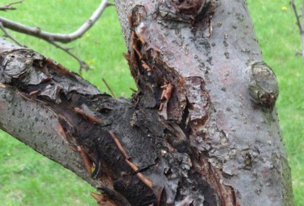 Ствол плодового дерева