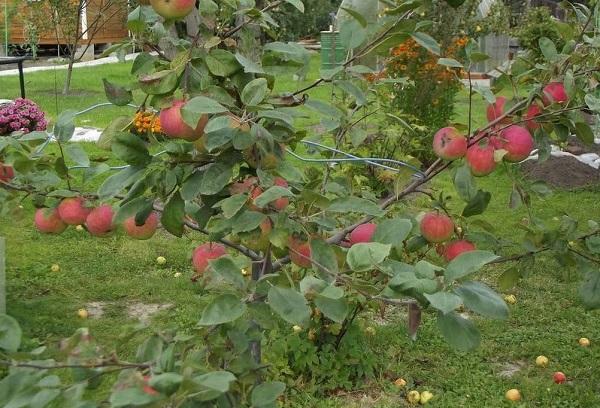 Низкорослое дерево яблоня