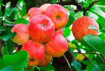 Яблоня Мельба дерево