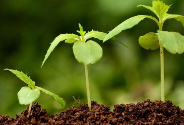 Ростки растения