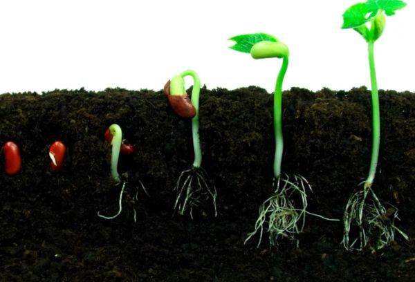Прорастание семян в земле