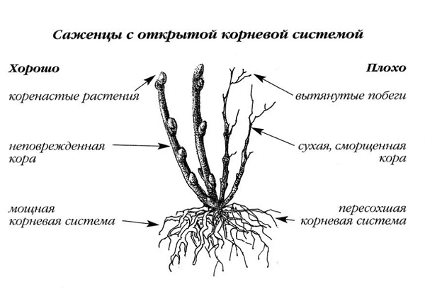 Особенности корневой системы саженцев