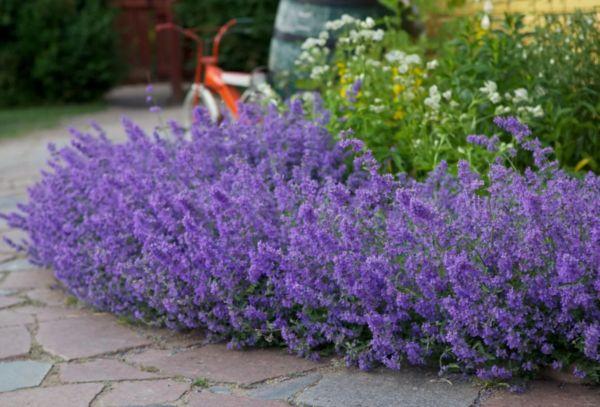 Цветы котовника