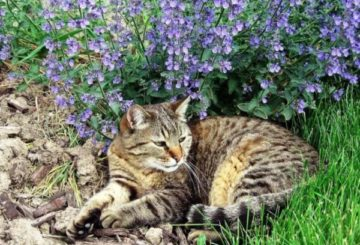 Цветок – котовник кошачий