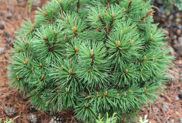 Карликовая горная сосна «Pinus mugo»