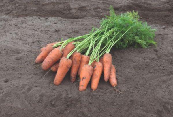 Каротель – сорт столовой моркови