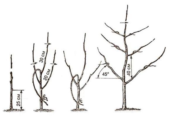 Обрезка яблони с пирамидальной кроной по годам