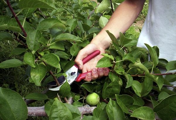 Миниатюрные плодовые деревья