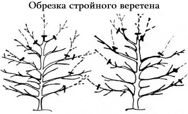 Популярная форма обрезки – стройное веретено