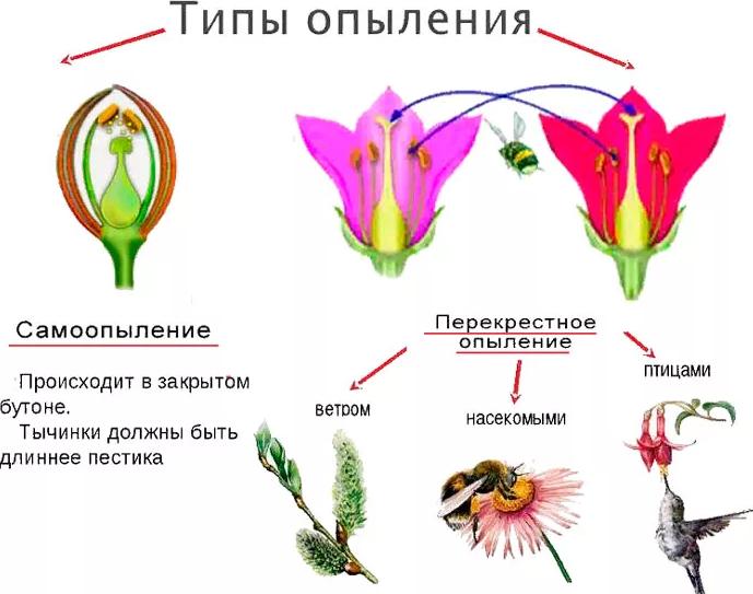 Схема опыления цветковых растений