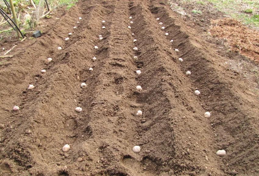 Посадка картошки вручную
