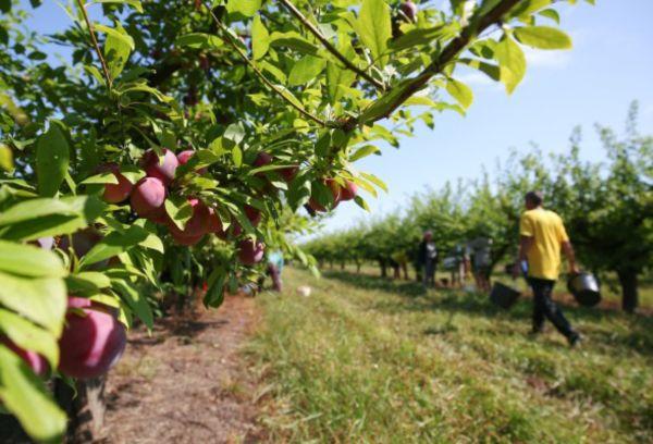 Сбор урожая и переработка плодов