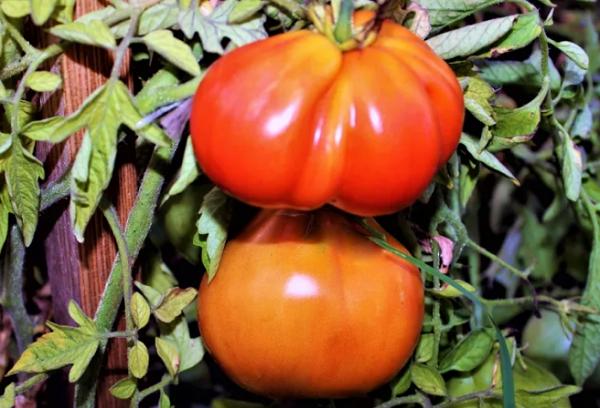 Томат Кунео Гигантская груша
