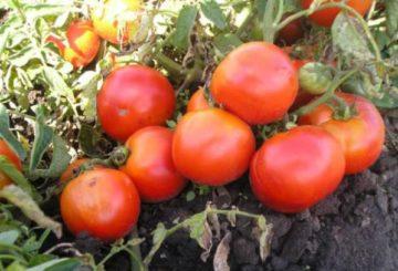 Низкорослые помидоры