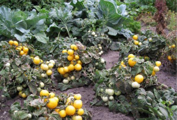 Ацтек помидоры