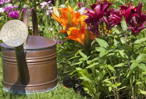 Осенние удобрения для лилий