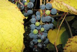 Амурские сорта винограда