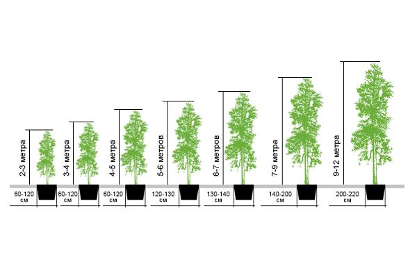 Возраст и размер саженцев деревьев