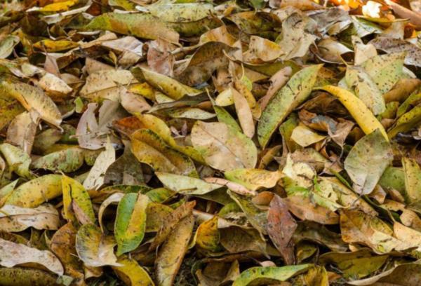Листья в качестве мульчи