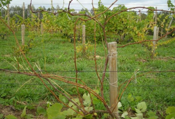 Омоложенный куст винограда