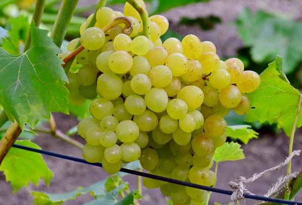 Виноград «Кишмиш Венгерский»