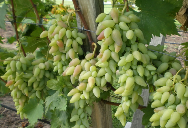 Виноград сорт Оригинал