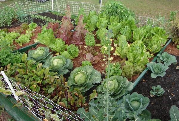 Грядка с овощами в огороде