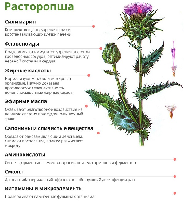Травянистое растение под названием Расторопша