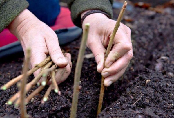 Размножение смородины в грунте