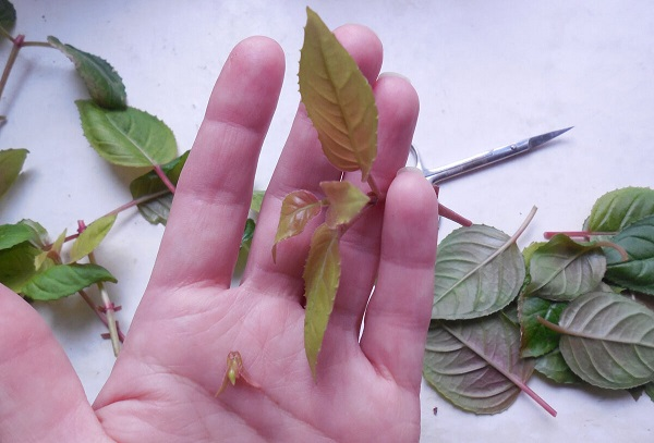 Сбор листьев зелени
