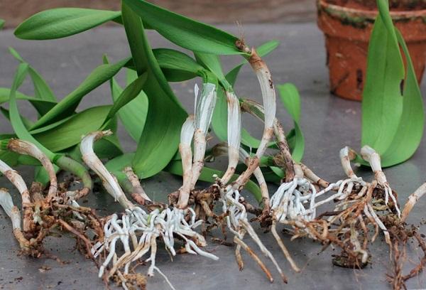 Черенки орхидеи