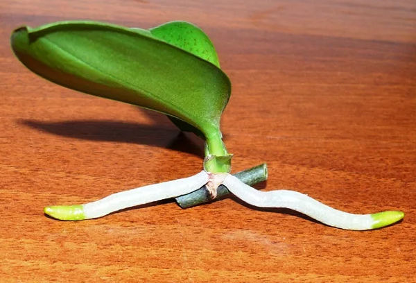 Детка орхидеи