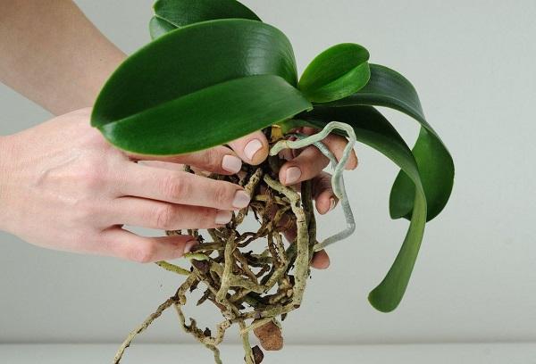 Росток орхидеи
