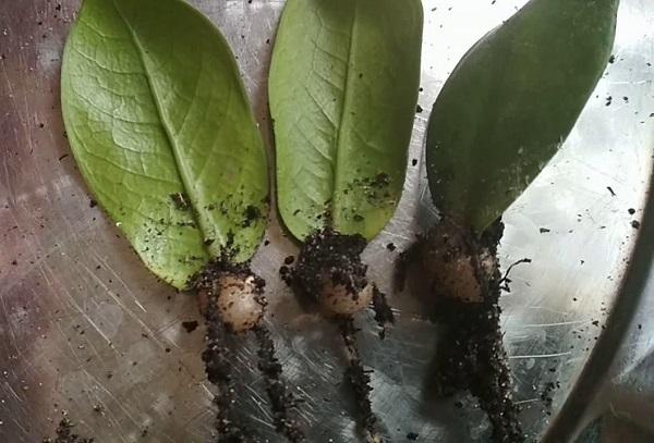 Размножение замиокулькаса листком