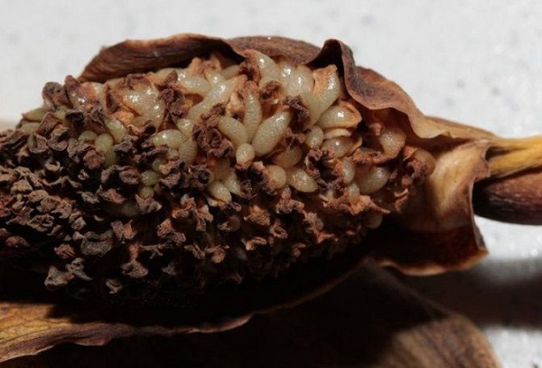 Семена замиокулькаса