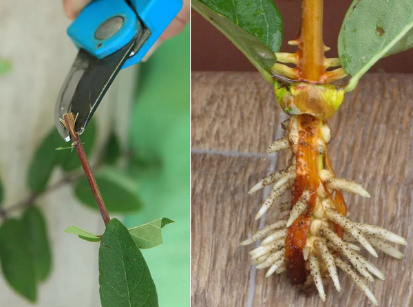 Корни у растения