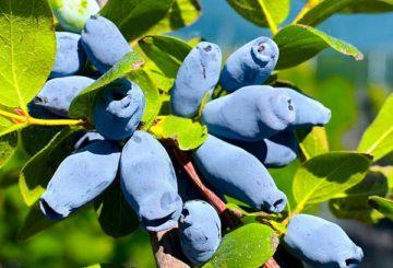Жимолость плоды