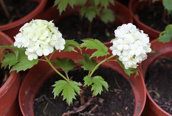 Белые цветки Калины Бульденеж