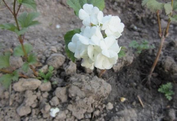 Росток калины с цветком