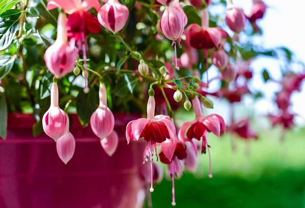 Цветки фуксии