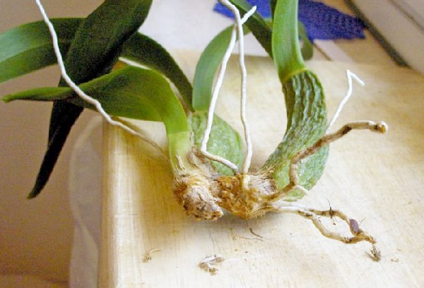Часть корней орхидеи